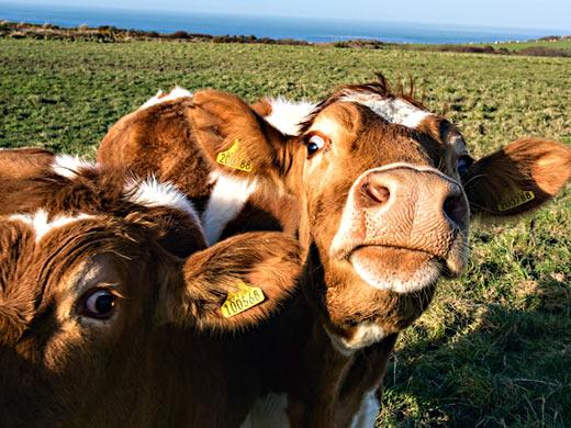 Коровы - лучшие друзья