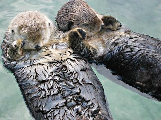 Выдры держатся за руки, даже когда спят