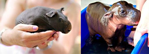 Морские-скинни-свинки и бегемот. Найдите 10 отличий.