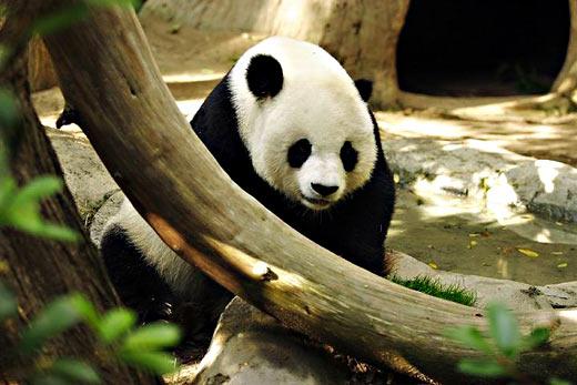 Взрослая панда