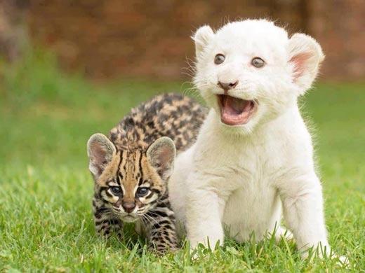 Эти маленькие большие кошки очень стараются быть свирепыми