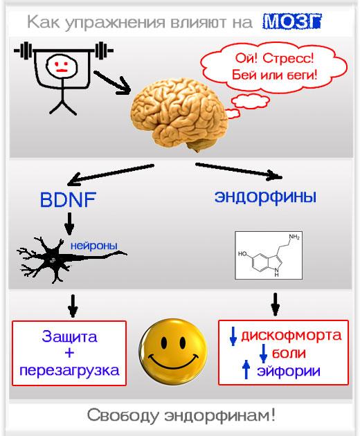 Высвобождение BDNF и эндорфинов при нагрузке